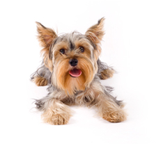 image of long haired dog to accompany dog clipping services